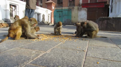 Macaque monkeys eating corn Stock Footage