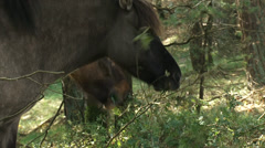 Icelandic horses graze in forested area - medium shot Stock Footage