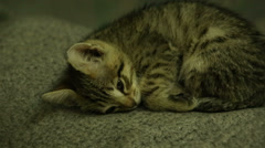 Grey kitten asleep curled up into a ball Stock Footage