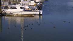Coots Swimming in Harbor Near Boat Stock Footage