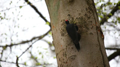 Two Black Woodpeckers Stock Footage