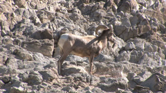 Solo Big Horn Sheep Joined By Two Friends Stock Footage