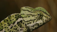Stock Video Footage of common chameleon courtship