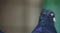 closeup shot of pigeons - stock footage