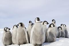 Lastentarha ryhmä keisari pingviini poikaset, tiiviinä ryhmänä, katselee ympäril Kuvituskuvat