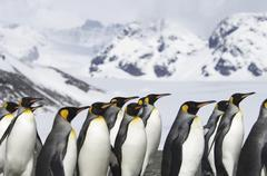 a group of king penguins, aptenodytes patagonicus, on south georgia island. - stock photo