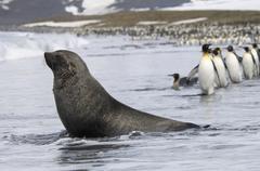 An antarctic fur seal, arctocephalus gazella, on the seashore, and a group of Stock Photos
