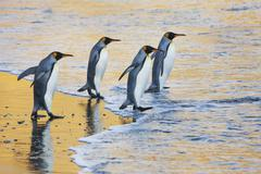 A group of four adult king penguins at the water's edge walking into the wate Stock Photos