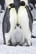two adult emperor penguins and a baby chick nestling between them. - stock photo