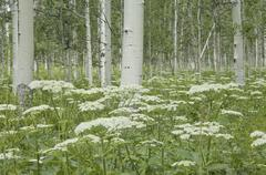 a grove of quivering aspen trees, and cow parsley growing under their shade.  - stock photo