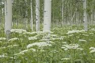 Stock Photo of a grove of quivering aspen trees, and cow parsley growing under their shade.