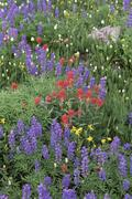 A field of mountain wildflowers, poppies and lupins in the wasatch mountains. Stock Photos