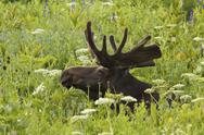 Stock Photo of an adult moose. alces alces. grazing in the long grass in the albion basin, o