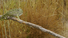 Common chameleon courtship Stock Footage