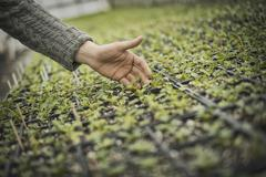 spring planting. a man tending trays of small plant seedlings. - stock photo