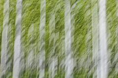 rows of commercially grown poplar trees on a tree farm, near pendleton, orego - stock photo