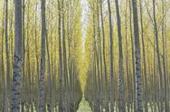 Stock Photo of rows of commercially grown poplar trees on a tree farm, near pendleton, orego