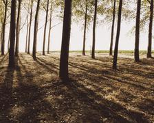 Cottonwood trees planted in ordered rows, casting long shadows on the ground. Stock Photos
