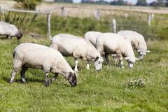 eating dyke sheep - stock photo