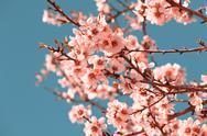 Stock Photo of pink flowers blooming peach tree at spring