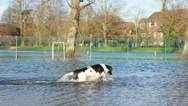 Stock Video Footage of UK Flood alert - Excited dog in flooded park