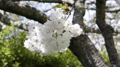 Sakura Japanese Cherry Tree Full Blossoms Orchard Flowering Spring Time Daylight Stock Footage