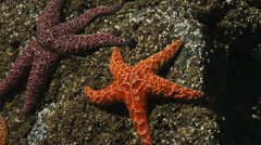 Orange & Purple Starfish on Rocks Stock Footage