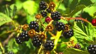 Ripe Blackberries in Sunshine Stock Footage