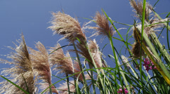 Giant Pampas Grass Blowing in Gentle Wind Stock Footage