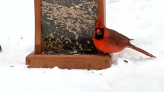 Northern Cardinal and other songbirds at a feeder in the snow Stock Footage