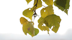 Yellowish leaves in early autumn swaying in the wind Stock Footage