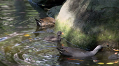 Coot feeding her babies in South Bank Parklands in Brisbane Stock Footage
