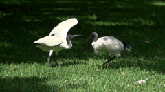 Australian White Ibis moving his wings in slow motion Stock Footage