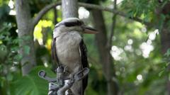 Kookaburra at a water sprinkler Stock Footage