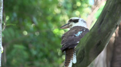 Kookaburra in a tree jumping to an other branch Stock Footage
