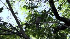 Kookaburra landing on a branch in slow motion next to an other kookaburra Stock Footage