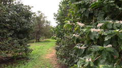 Coffee Plantation Arkistovideo