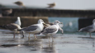 Stock Video Footage of Slow-Mo: Seagull Walking In A Group Of Birds