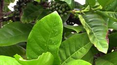 Coffee plant on plantation Stock Footage