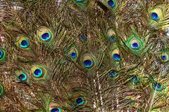 background with  colorful peacock feathers - stock photo