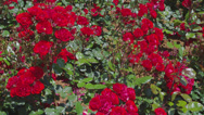 Red Rose Bushes Stock Footage