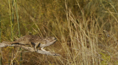 Common chameleon hunting Stock Footage