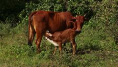 Mother cow feeds young calf - pan down Stock Footage