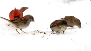 Stock Video Footage of Northern Cardinal and other songbirds eating seeds in the snow