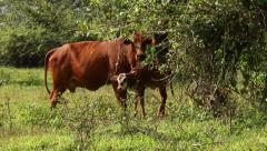 Mother cow and calf in field stratching ears Stock Footage