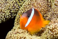 playful orange clownfish - stock photo