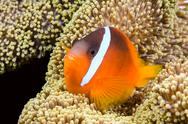 Stock Photo of playful orange clownfish