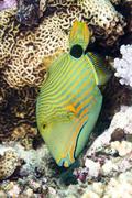 green triggerfish - stock photo
