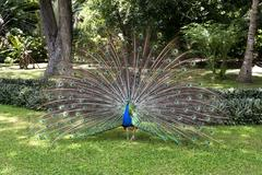 Peacock displaying feathers Stock Photos