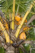 Dwarf coconut tree Stock Photos
